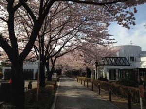 桜並木2016